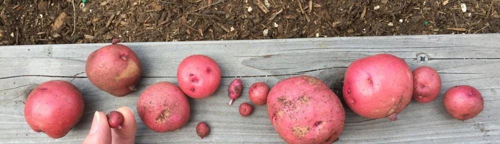 One potato, two potato, three potato . . .