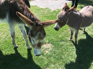 Ginny and Herbie, the Gunnison KOA's welcome burros.